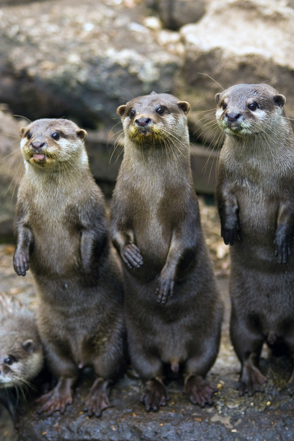 Asian Short-Clawed Otter | New Forest Wildlife Park