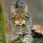 Scottish-Wildcat.jpg